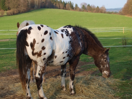 piebald: piebald horse eating hay . South Bohemia