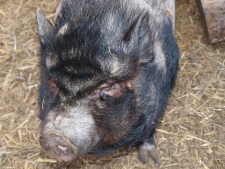 chinese pig: Cerdo chino en un pen norte de Bohemia Foto de archivo