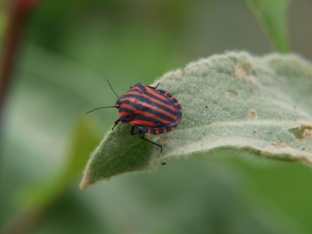 graphosoma: Graphosoma lineatum on mullein leaf   South Bohemia