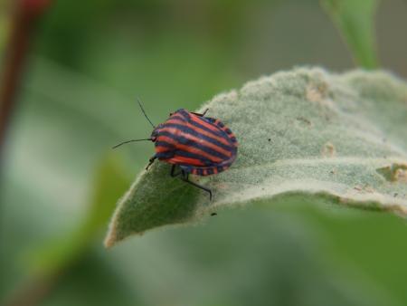 lineatum: Graphosoma lineatum on mullein leaf   South Bohemia