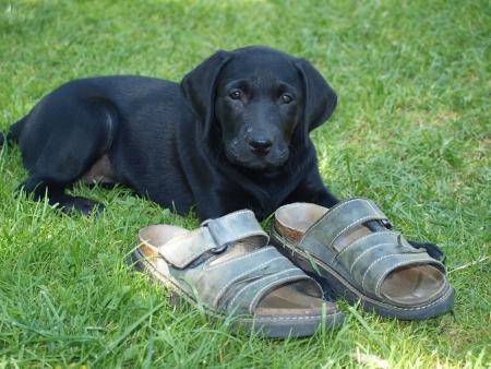 labrador retriever puppy   South Bohemia photo