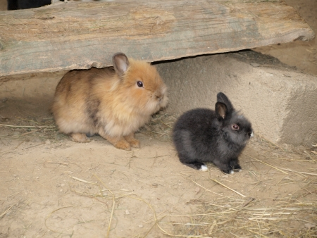 sweet bunny rabbits family  austria photo
