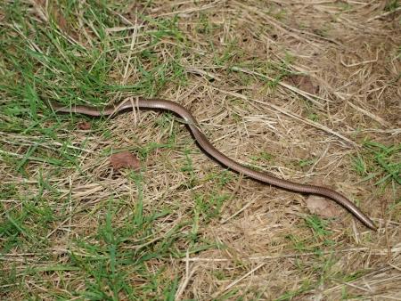 slow worm: Slow Worm   Anguis fragilis     Czech Republic