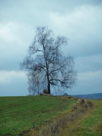 republik: lonely tree  South Bohemia  czech republik