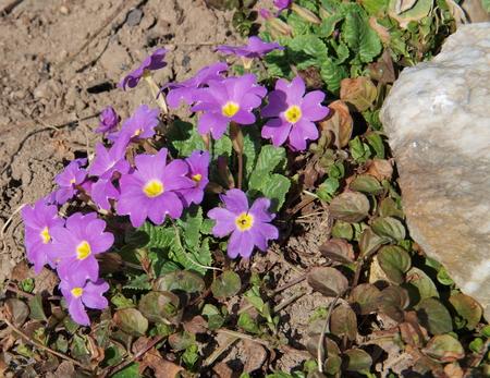 popularly: Cowslip  Primula veris, also popularly primrose herb St   Petra , South Bohemia, Czech Republic