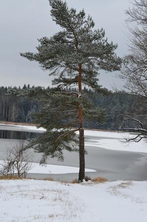 snowy landscape: A lonely tree in a snowy landscape, South Bohemia, Czech Republic