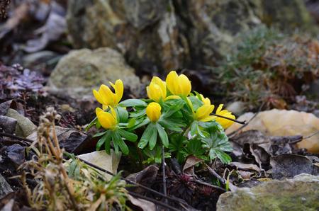 bohemia: flower Eranthis, South Bohemia, Czech Republic