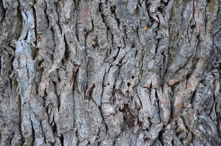 bohemia: large oak bark. South Bohemia Czech Republic