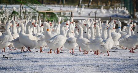 breeding geese domestic South Bohemia Czech Republic