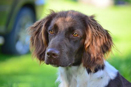 bohemia: Munsterlander puppy South Bohemia Czech Republic Stock Photo