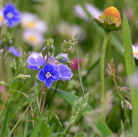 bohemia: Spring meadow flowers South Bohemia Czech Republic