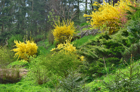 shrubs: flowering shrubs golden rain South Bohemia Czech Republic