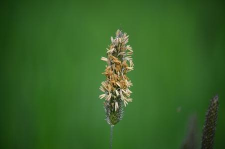 bohemia: view of flowering timothy South Bohemia Czech Republic Stock Photo