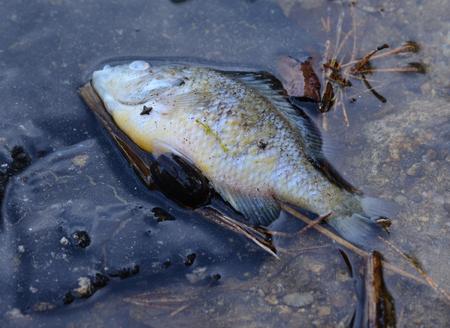 freshwater fish: dead freshwater fish, perch, South Bohemia, Czech Republic