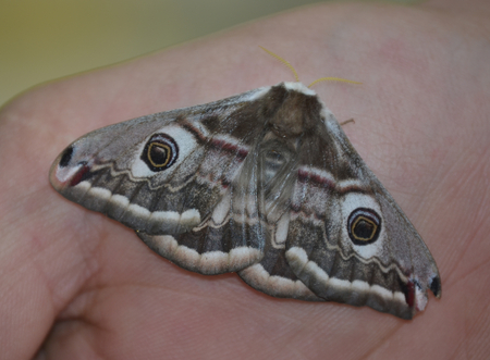 ocellatus: moth, Smerinthus ocellatus on hand, South Bohemia, Czech Republic