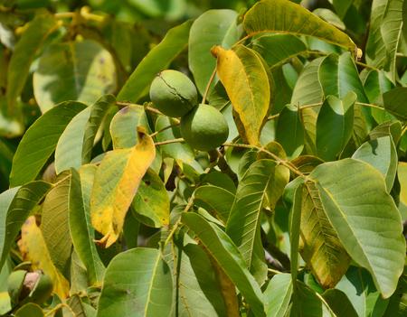 bohemia: autumn fruits, southern Bohemia , Czech Republic