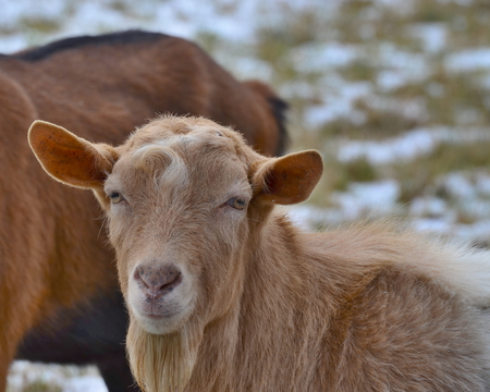 brown goat: Brown goat in the pasture . South Bohemia
