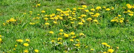 republik: Spring blooming dandelion . South Bohemia, Czech Republic