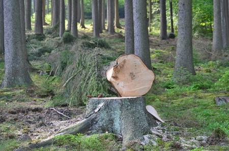 felled: felled trees, ready for transportation, South Bohemia, Czech Republic
