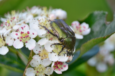 Cetonia aurata beetle on flowering aronia, South Bohemia, Czech Republic