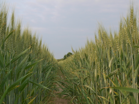 ripened: ripened grain, South Bohemia, Czech Republic