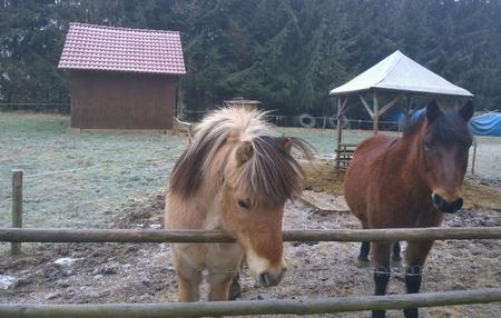 brown horse on winter pasture. South Bohemia, Czech Republic