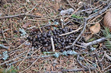 droppings, Roe Deer (Capreolus capreolus), South Bohemia, Czech Republic