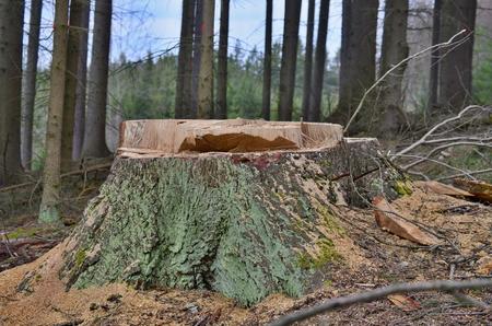 stump of a large tree felled, South Bohemia, Czech Republic