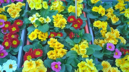 spring flowers ready for planting, South Bohemia, Czech Republic Stock Photo