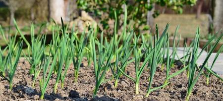 Spring garlic plant, South Bohemia, Czech Republic Stock Photo