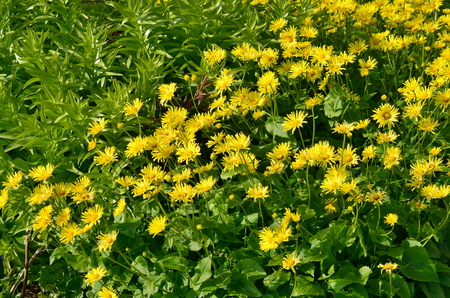 spring leopards-bane, flower, South Bohemia, Czech Republic Stock Photo