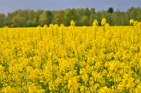 Spring field sown oilseed, South Bohemia, Czech Republic Stock Photo