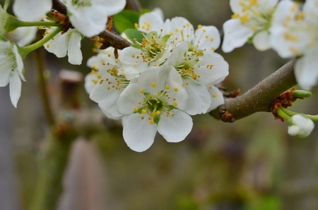 beautiful pear tree blossom . South Bohemia, Czech Republic