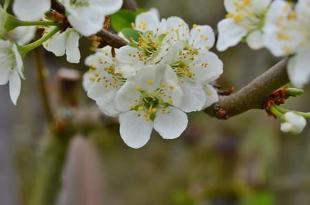 beautiful pear tree blossom . South Bohemia, Czech Republic Stock Photo - 78597707