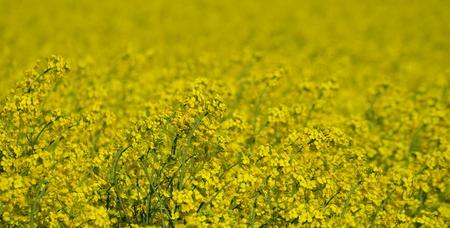 Jarní polní osivo olejnatých semen, Jižní Čechy, Česká republika Reklamní fotografie