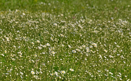 first spring flowers, South Bohemia, Czech Republic Stock Photo - 79595206