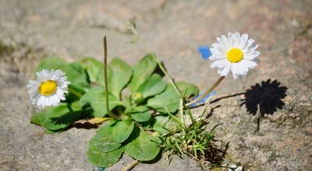 pohled na kvetoucí sedmikrásky, Jižní Čechy, Česká republika