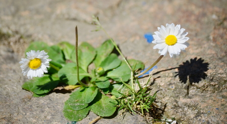 view of flowering daisies, South Bohemia, Czech Republic Stock Photo