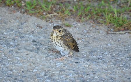 Mladý pták, zpěv zpěv, jižní Čechy, česká republika