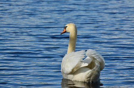swan on the water, South Bohemia, Czech Republic Stock Photo - 79595193