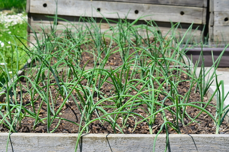 Spring onion plant, South Bohemia, Czech Republic Stock Photo - 79595213