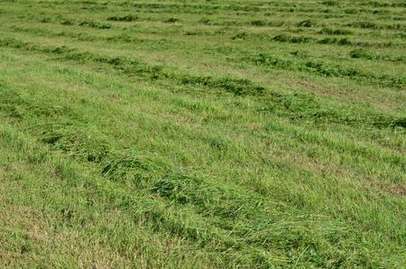 Traditional dry grass, South Bohemia. czech republik Stock Photo - 80582567