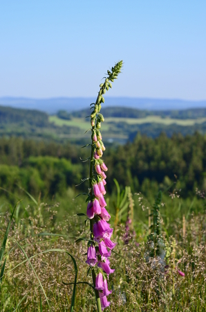 Foxglove (Digitalis purpurea), South Bohemia, Czech Republic Stock Photo