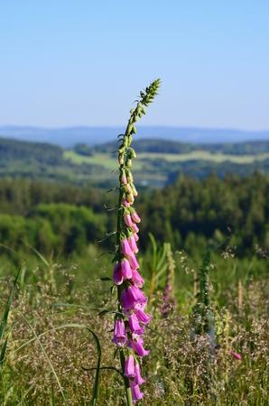 Foxglove (Digitalis purpurea), Jižní Čechy, Česká republika Reklamní fotografie