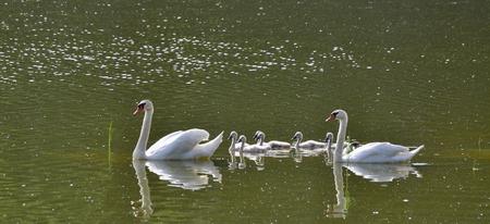 labuť na vodě, Jižní Čechy, Česká republika Reklamní fotografie