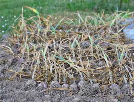 sklizeň česneku, Jižní Čechy, Česká republika