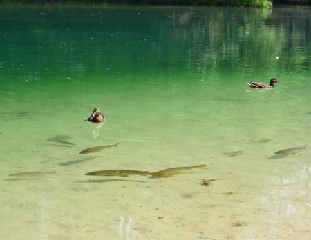 Fish swimming in a pond in the water column and at the surface of the duck, czech republic