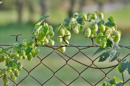 Chmel je rostlinná rodina konopných rodin, Česká republika Reklamní fotografie