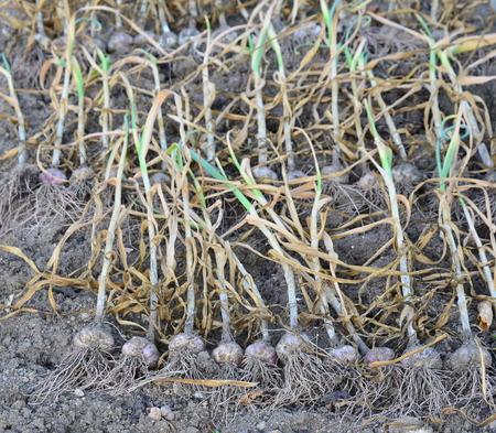 harvested garlic plant, South Bohemia, Czech Republic