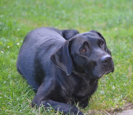 Labrador Retriever resting, South Bohemia, Czech Republic Reklamní fotografie